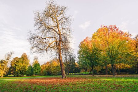 field maple: Autumn landscape with a large tree with fallen leaves covering the ground in autumn and tress with beautiful autumn colors in the background