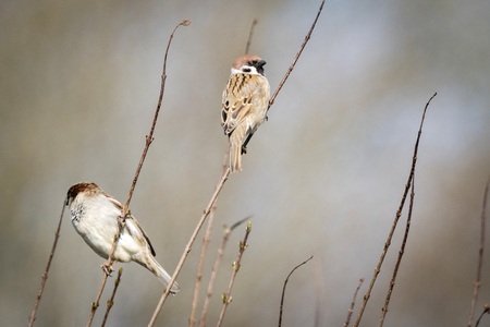 Sparrow birds also known as Passer Montanus sitting on small twigs with fresh sprouts in the spring Stock Photo