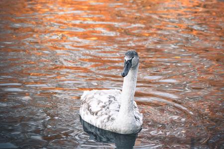 秋にサンライズ光が反射して暗い水の灰色のくちばしと白い羽の美しいスワン シグネット
