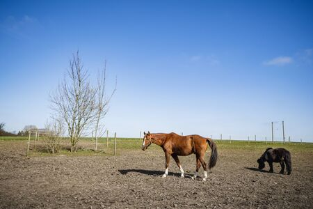 Grazing horses on a field at a farm in the spring with fence around the grazing area Stock Photo