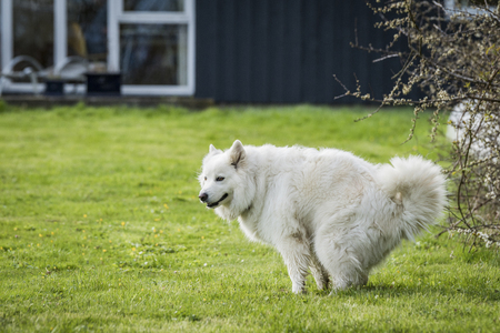 Samoyed dog taking a dump on a green lawn in a garden with a house in the background in the spring Stock Photo