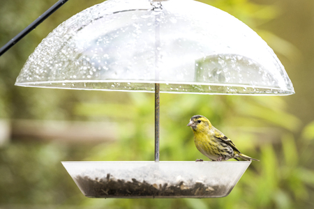 Siskin bird taking cover for the rain on a feeding stand with bird seeds