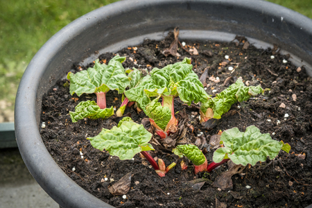 Rhubarb plant in the early stage in a large pot in a greenery