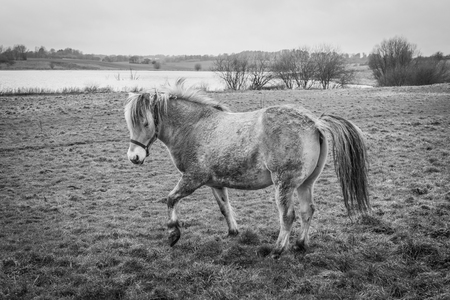 Horse on a field in rural surroundings in black and white colors
