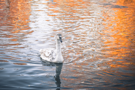 若い白鳥秋の朝日の出で暗い水中を泳ぐ白鳥の雛