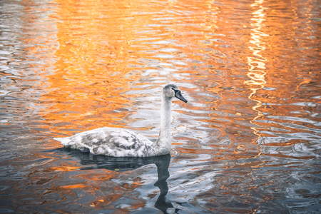 Swan cygnet changing feathers from grey to white and swimming in a lake on a nearly morning in the sunrise