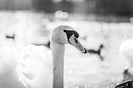 Swan in a lake in monochrome colors with close-up pf the head from the side
