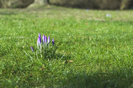 Crocus flowers in purple colors on a green lawn in a park in the spring