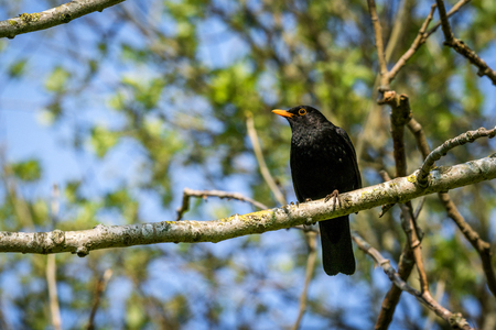 Blackbird sitting on a branch in a tree in the spring with a colorful orange beak
