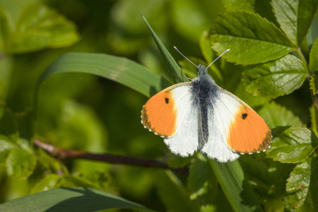 Orange tip butterfly on a green leaf in a garden at springtime in the sun