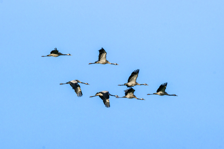 Flock of cranes flying in the air on clear blue sky