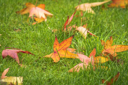 Autumn maple leaves on a green lawn in the fall in colordul warm colors Stock Photo