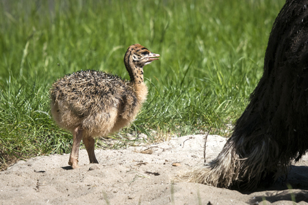 Ostrich youngster in a sand dune surrounded by green grass in the summer