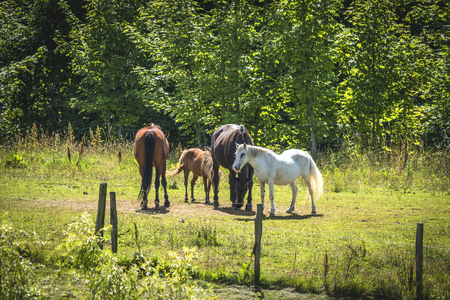 Horses on a meadow in the summer behind a fence on a sunny day