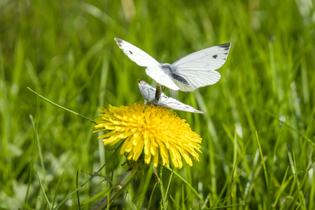 Pieris Brassicae butterflies in the mating act in the spring on a meadow with a yellow dandelion
