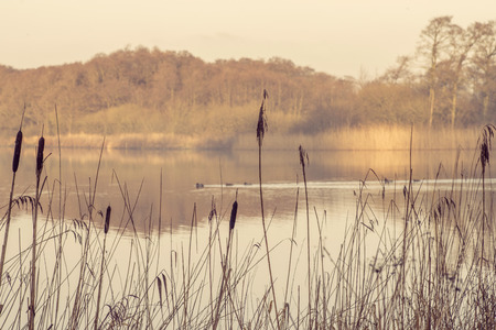 Silhouettes of tall rushes by an idyllic lake in the morning with a duck family passing by