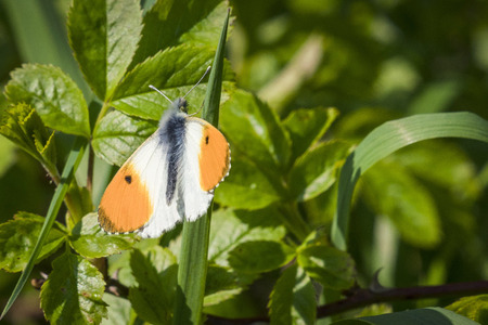 Orange tip butterfly on a grass straw in fresh green colors in the summer
