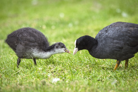 Eurasian coot feeding a chicken on green grass in the spring