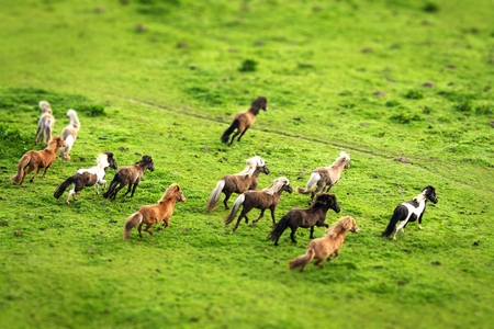 Wild horses running on a green meadow seen from above in the spring Stock Photo