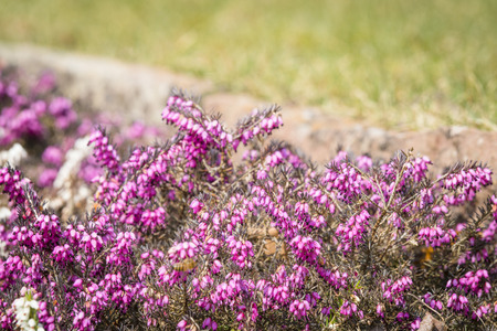 Wild heather in vibrant purple colors on a meadow in the summer Stock Photo