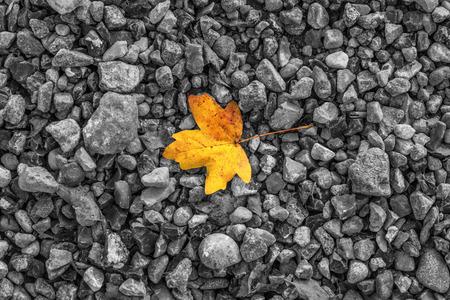 Autumn maple leaf in orange and red colors on dark black stones