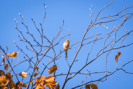 Single finch in a tree top in the fall with golden leaves in autumn colors Stock Photo