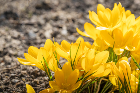 Yellow crocus flowers in a flowerbed at springtime blooming in the sun