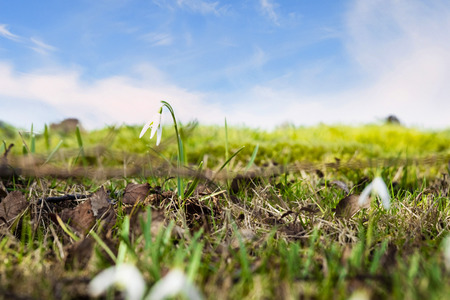 Snowdrop flowers on a green meadow in the spring under a blue sky