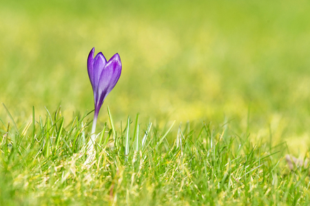 Purple crocus flower on a green lawn in the spring blooming on a sunny day Stok Fotoğraf