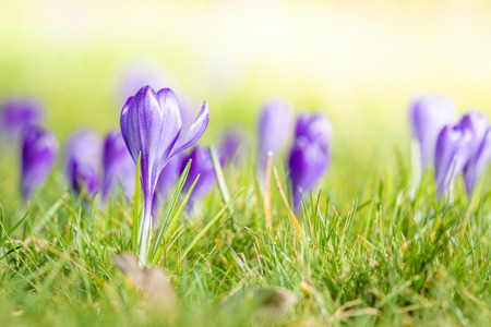 Violet crocus flowers blooming on a meadow in the springtime in bright daylight Stok Fotoğraf