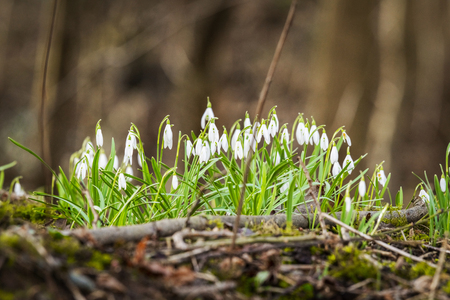 Snowdrop flowers blooming in a forest in the spring on a day in March