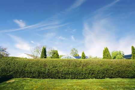 Hedge in a yard with a green lawn in the summer and a neighborhood in the background