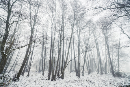 Misty winter in a forest with barenaked trees on a cold foggy morning
