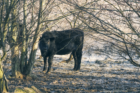 Black cow standing in some trees on a cold frosty wintere day with sunshine