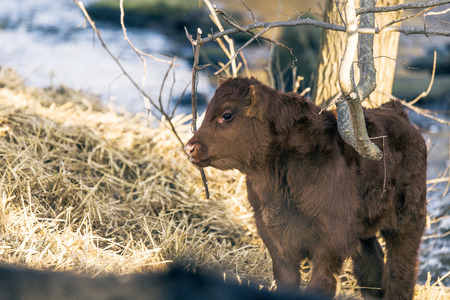 Young calf standing outdoors in the winter with golden hay by a tree