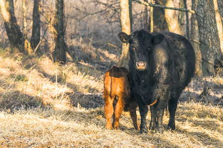 Calf with the mother cow near a forest with hay on the ground in the sun