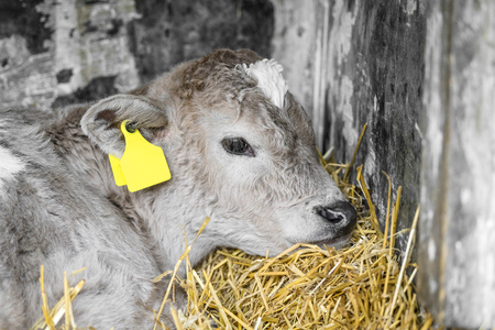 Adorable calf in a stable taking a nap in the golden hay on a rural farm Stok Fotoğraf