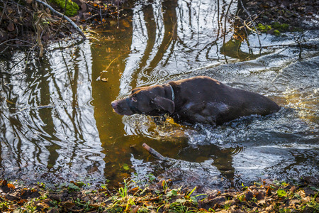 Hunting dog in a forest puddle in the fall with wet fur and tree silhuettes in the water