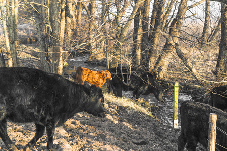 Cattle in a forest drinking of a small river in the fall on a bright day