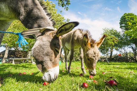 Two donkeys eating red apples in an idyllic garden in the summer Stok Fotoğraf