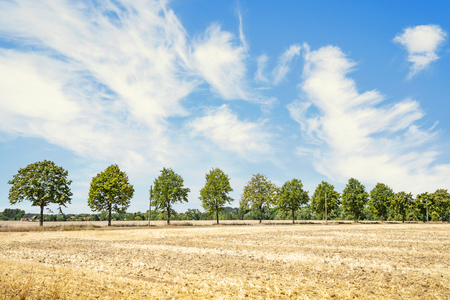 Green trees on a row in the summer on a dry field with golden grass Stok Fotoğraf