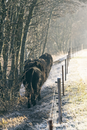 Cattle walking along an electric fence on a frosty morning in the winter Stok Fotoğraf