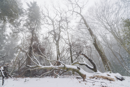 Fallen tree in a misty forest in the winter with tall trees in the fog Stok Fotoğraf