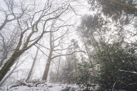 Misty forest in the winter with tall trees and long branches in the fog