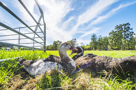 Ducks relaxing in the sun on green grass in the summer in an idyllic countryside