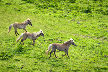Three grey horses running wild on a green meadow in the spring Stok Fotoğraf