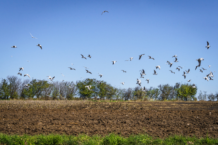 Seagulls flying over a ploughed field in a rural countryside scenery