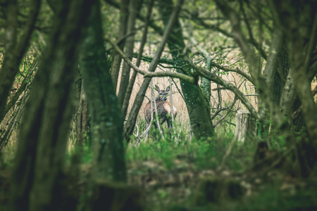 Deer looking back in a forest clearing in the early spring Stock Photo