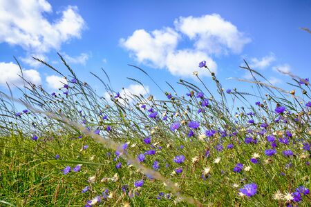Wildflowers in rural environment in the summer with purple flowers in the sun