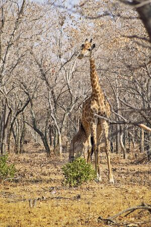 Giraffe calf feeding from the mother in a dry forest in South Africa
